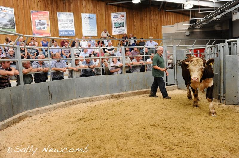 Cattle ring 15th September 2016
