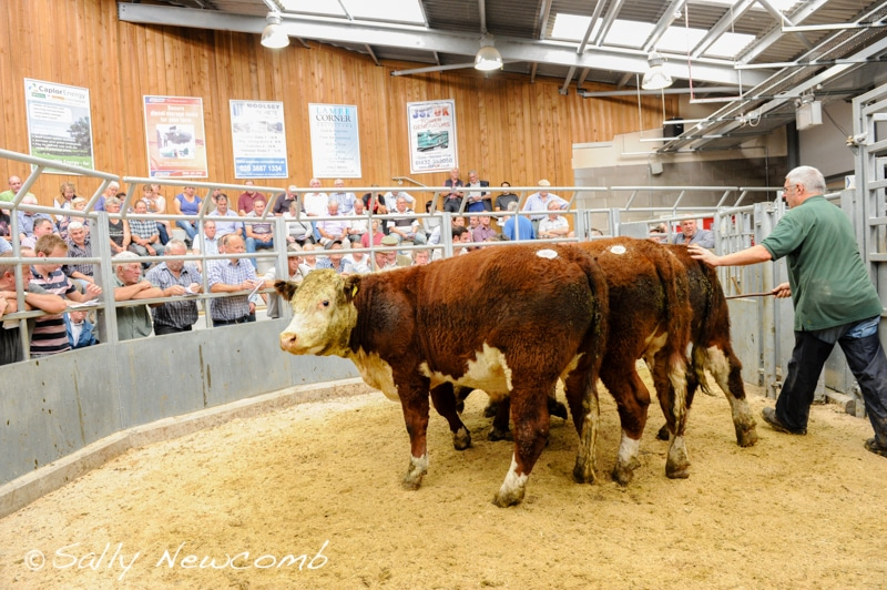 Cattle ring 15th September 2016