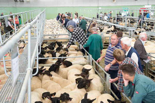 Sheep sale at Hereford Livestock Market