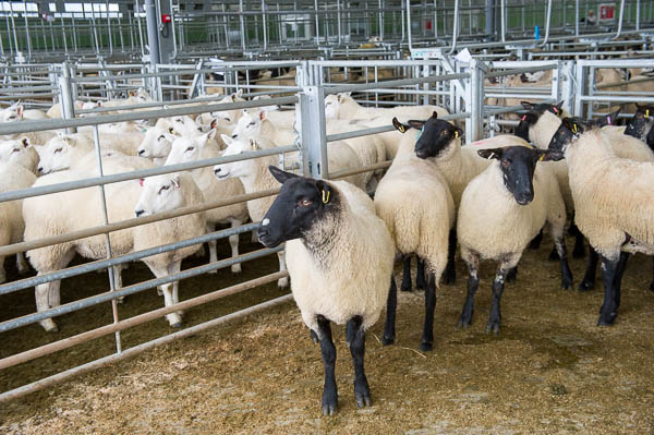 Sheep at Hereford Livestock Market