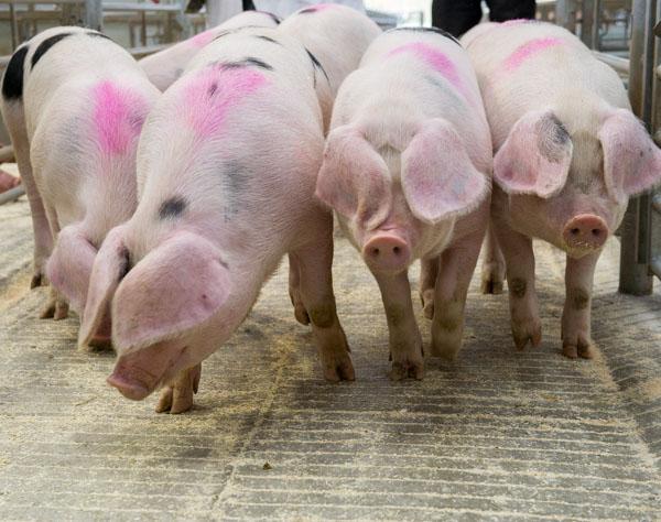 Pigs at Hereford Livestock Market