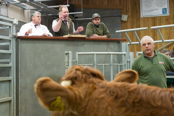 Matthew Nicholls selling cattle at Hereford Livestock Market