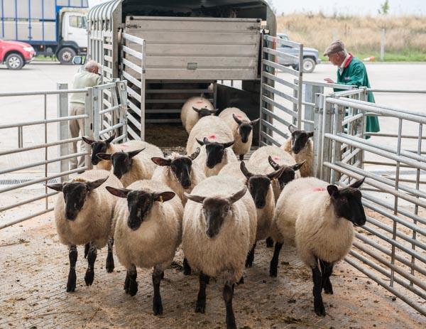 Sheep arrive at Hereford Livestock Market