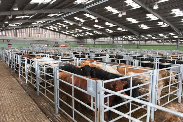 Cattle pens at Hereford Livestock Market