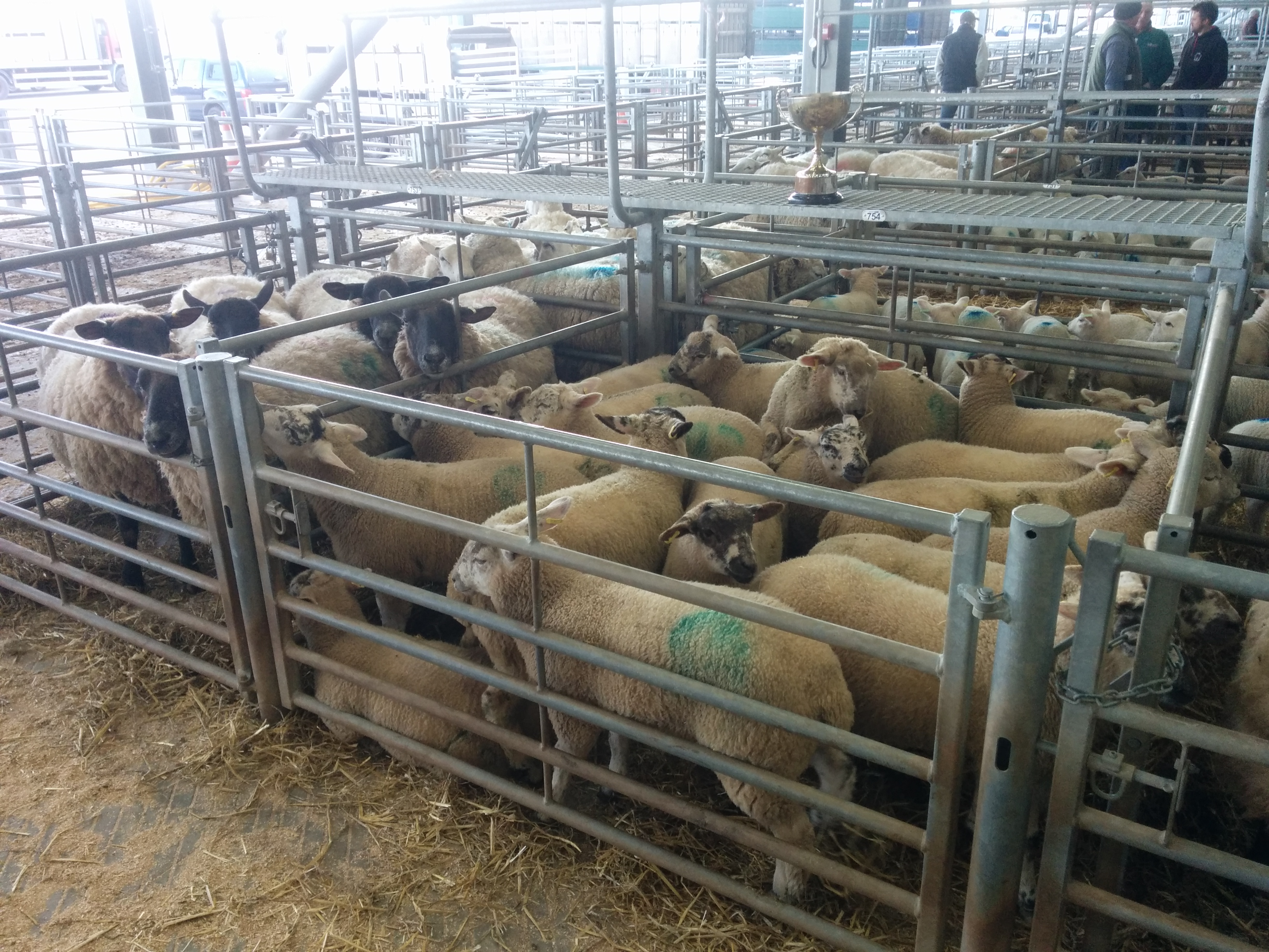 Ewe & Lamb Show 16th March