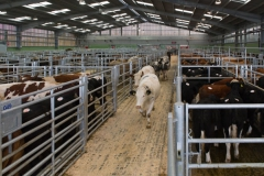 Store cattle at Hereford Livestock Market