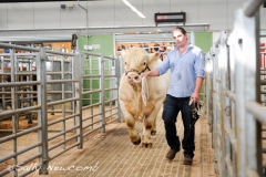 Pedigree Charolais bull Shraden Georgio