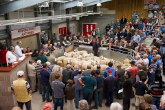 Sheep sale at Hereford Livestock Market