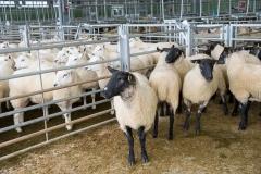 Sheep at Hereford Livestock Market