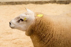 Ram sale Hereford Livestock Market