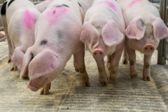 Pigs at Hereford Livestock Market