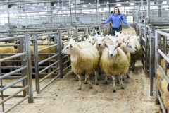 Sheep arrive at the market