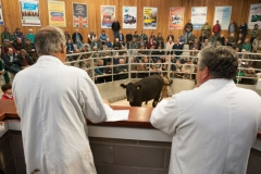 Mike Evans and Richard Hyde selling cattle at Hereford Livestock Market