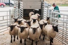 Sheep arrive at Hereford Livestock Market