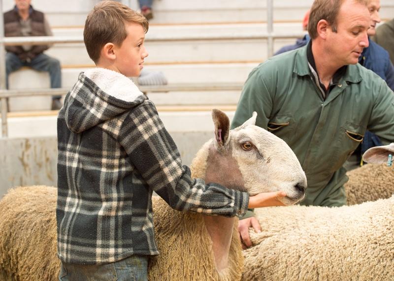 Young handler showing his ram