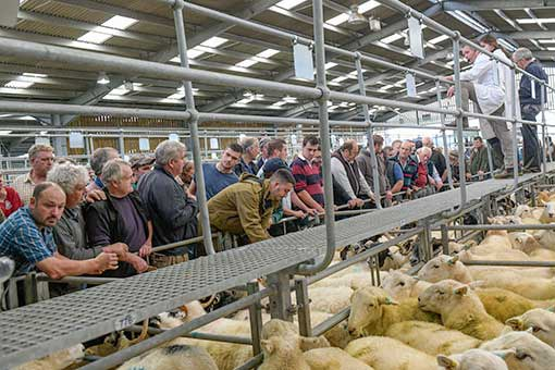 Sheep being sold by auctioneer Rob Meadmore at Hereford Livestock Market