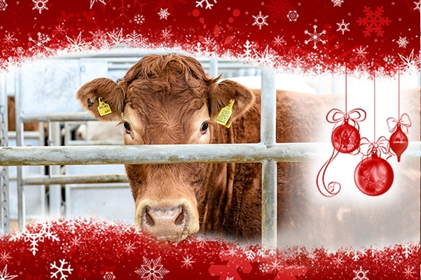 christmas-cattle